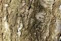 Beech Tree Bark Royalty Free Stock Photo