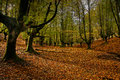 Beech tree forest in autumn Stock Photography
