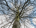 Beech Tree in Winter Royalty Free Stock Photo