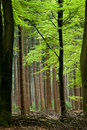 Beech trees Royalty Free Stock Image