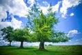 Beech trees Royalty Free Stock Photo