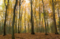 Beech trees in autumn Royalty Free Stock Image