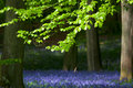 Beech trees and bluebells Royalty Free Stock Images