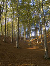 Beech trees in forest Stock Photo