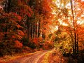 Beech trees forest at autumn / fall daylight Royalty Free Stock Photo