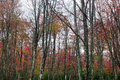 Beech trees in the forest rainy autumn day colorful Stock Photo