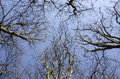 Beech trees in winter Royalty Free Stock Photo