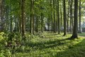 Beech wood in springtime with bluebells england Stock Image