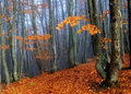 Beechen autumn wood Royalty Free Stock Images