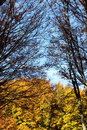 Beeches in autumn the branches and the leaves a foreshortened view of foliage of some with madonie mountains near palermo Royalty Free Stock Photos