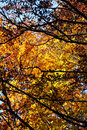 Beeches in autumn the branches and the leaves a foreshortened view of foliage of some with madonie mountains near palermo Stock Photos