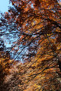 Beeches in autumn the branches and the leaves a foreshortened view of foliage of some with madonie mountains near palermo Stock Photo
