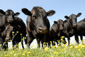 Beef Cattle Stare Royalty Free Stock Photo