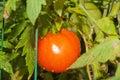BeefSteak Tomatoe Stock Images