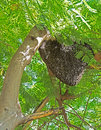 Beehive of Giant Honey Bees on Big Tree Royalty Free Stock Photo