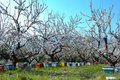Beehives in almond trees