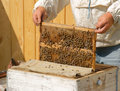Beekeeper checks honey Royalty Free Stock Image