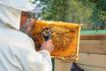 Beekeeper consider bees in honeycombs with a magnifying glass. Apiculture. Royalty Free Stock Photo