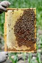 The beekeeper is holding a frame with honeycomb on which bees are crawling Royalty Free Stock Photo