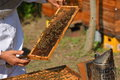 Beekeeper holding frame of honeycomb with working bees Royalty Free Stock Photo