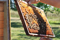 Beekeeper keeps frame with honeycomb and bees above opened beehive Royalty Free Stock Photo