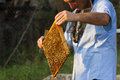 Beekeeper removes frame of honey comb Royalty Free Stock Photography