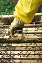 Beekeeper working removing hive frame from box Stock Photography