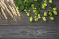 Beer brewing ingredients Hop and wheat ears on dark wooden table. Beer brewery concept. Beer background. Top view with copy space Royalty Free Stock Photo