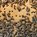 Bees in bee hive closeup busy sealed cells are for young brood Stock Image