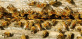 Bees at the beehive entrance. Stock Photos