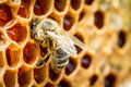 Bees in a beehive on honeycomb close up of Royalty Free Stock Photography