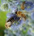 Bees on blue flowers. Royalty Free Stock Image