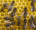 Bees build honeycombs material is a wax that they produce honey Royalty Free Stock Photography