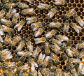 Bees caring for their young in hive detail busy visible larvae cells developing Stock Image
