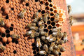 Bees Clustered on Honeycomb Frame Royalty Free Stock Photo