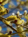 Bees collecting pollen on yellow catkins Royalty Free Stock Photo