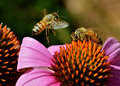 Bees on coneflower Royalty Free Stock Photo