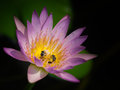 The bees are eating the pollen two delicious in a lotus flower Stock Image
