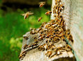 Bees at the entrance. Royalty Free Stock Image