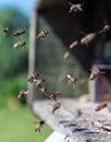 Bees in flight near beehive