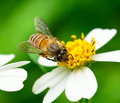 Bees on flower close up Royalty Free Stock Photo