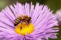 Bees at flower at work Royalty Free Stock Photography