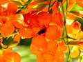 Bees gather honey from Chinese trumpet creeper