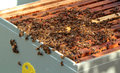 Bees in hive Royalty Free Stock Photography