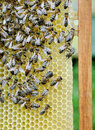 Bees on honey cells with the queen bee in middle Stock Photos