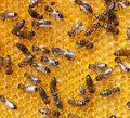 Bees honey comb and a bee working Royalty Free Stock Photos