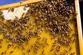 Bees and honey Royalty Free Stock Photo