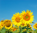 Bees honeybees on sunflower beautiful day and blue sky Royalty Free Stock Images