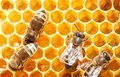 Bees on honeycells Royalty Free Stock Photography