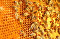 Bees on honeycomb frame Royalty Free Stock Photo